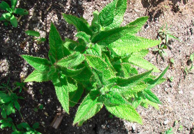 Выращивание топинамбура в домашних условиях