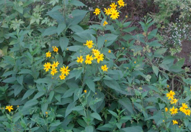 Растение топинамбур: фото