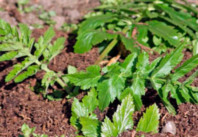 Как вырастить рассаду пастернака