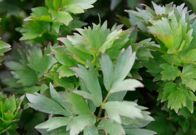 Любисток лечебные свойства растения