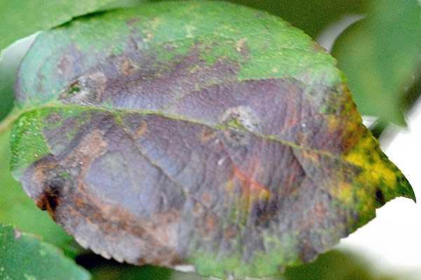 Парша яблони (лист имее сильное поражение) – Venturia inaequalis