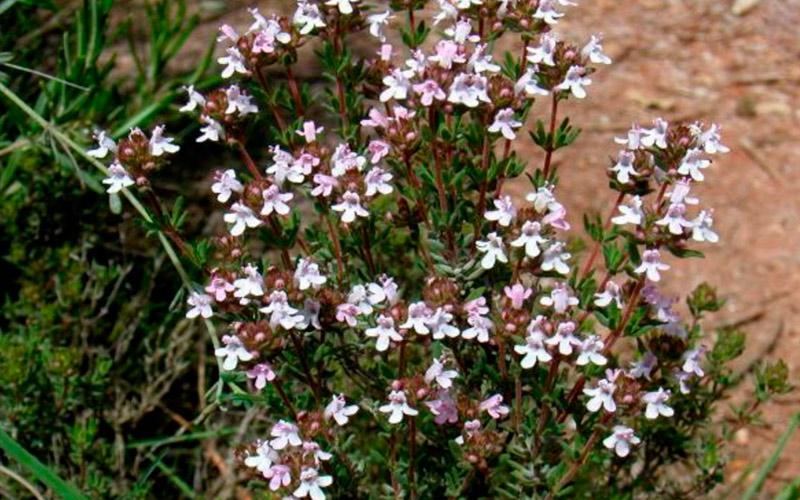 Тимьян обыкновенный – Thymus vulgaris