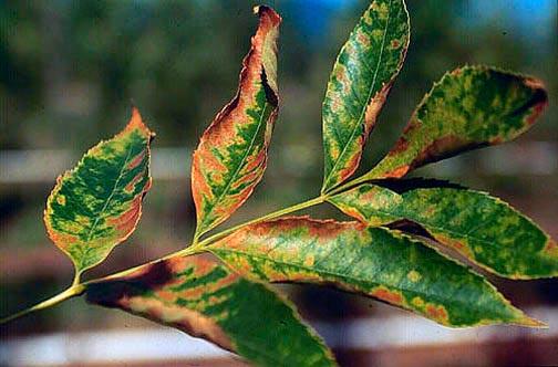 Вертициллезное усыхание плодовых – Verticillium dahliae
