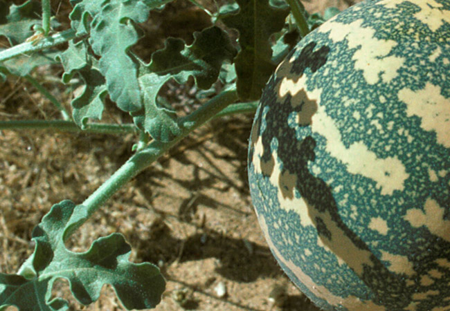 История распространения арбуза