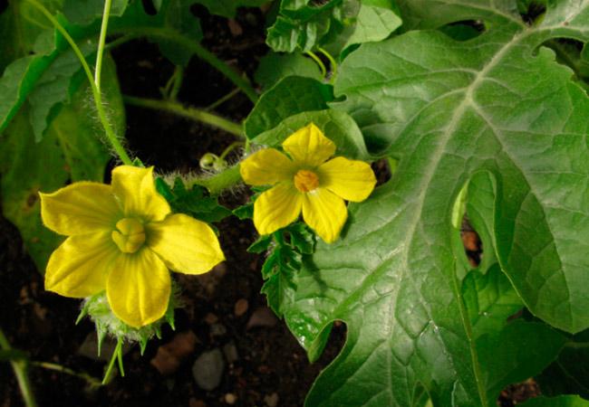 Арбуз: ботаническое описание ягоды