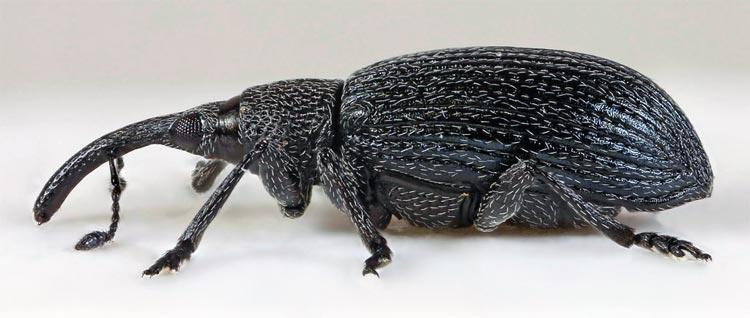 Донниковый стеблеед - Apion meliloti