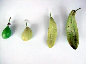 Кармашки слив – Taphrina pruni