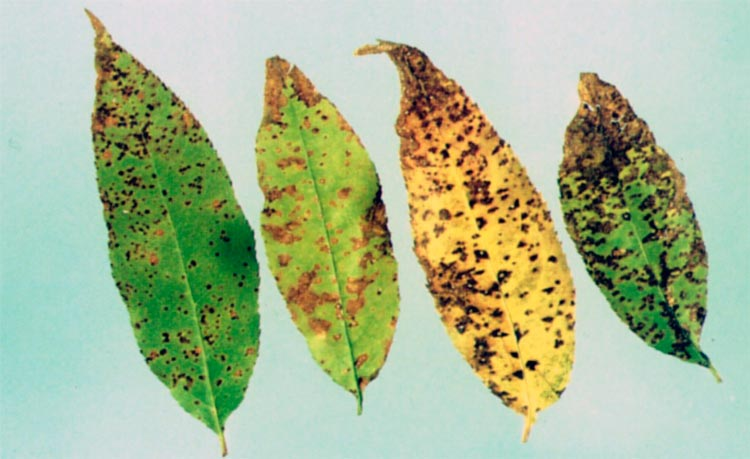 Коккомикоз косточковых – Coccomyces hiemalis