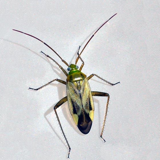 Люцерновый клоп - Adelphocoris lineolatus