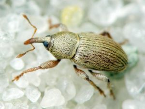 Люцерновый желтый семяед - Tychius flavus