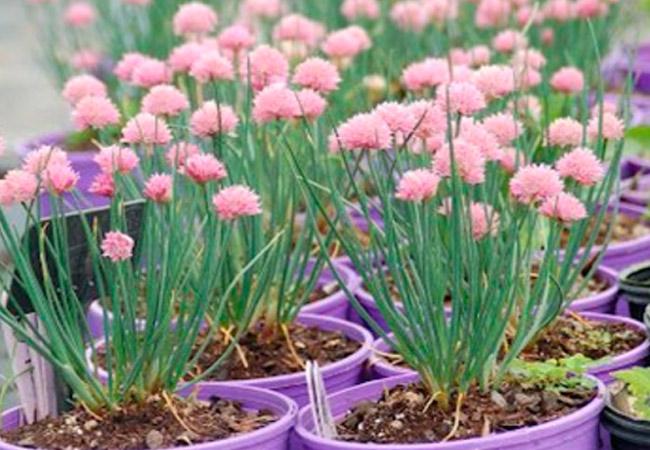 Как вырастить декоративный лук из семян
