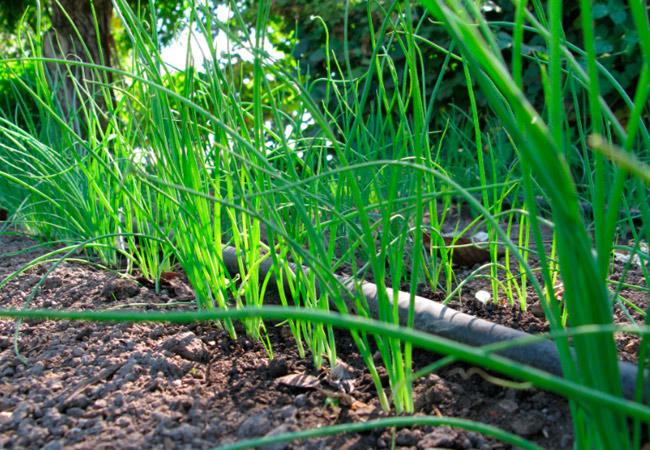 Уход за рассадой лука в открытом грунте