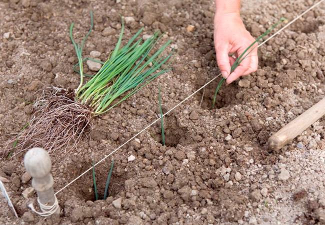 Как вырастить лук Параде рассадным способом