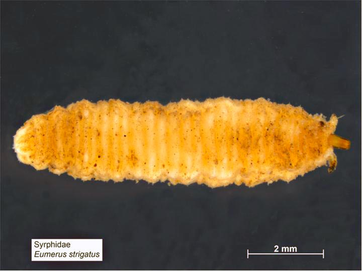 Луковая журчалка (личинка) – Eumerus strigatus