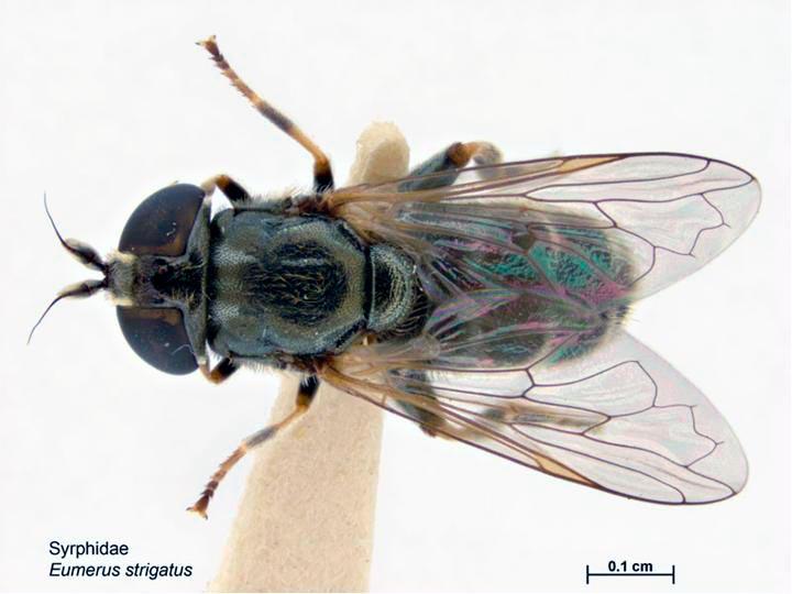 Луковая журчалка – Eumerus strigatus