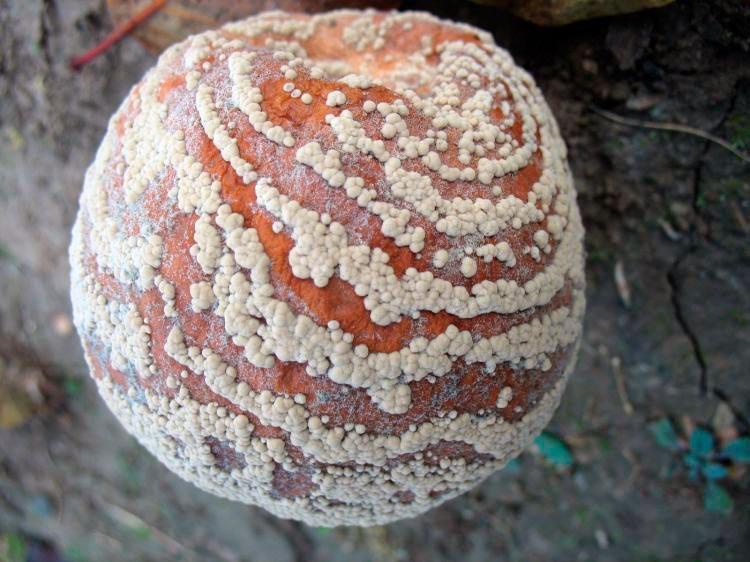 Монилиозы яблони и груши (плодовая гниль) – Monilinia fructigena