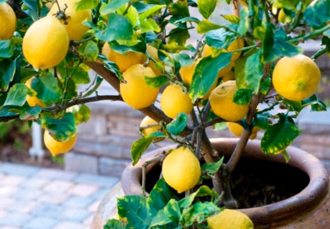 Формирование кроны комнатного лимона