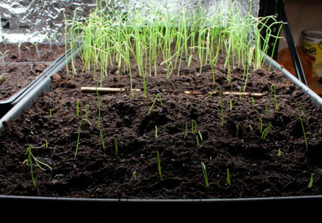 Лук батун: выращивание и уход в теплице
