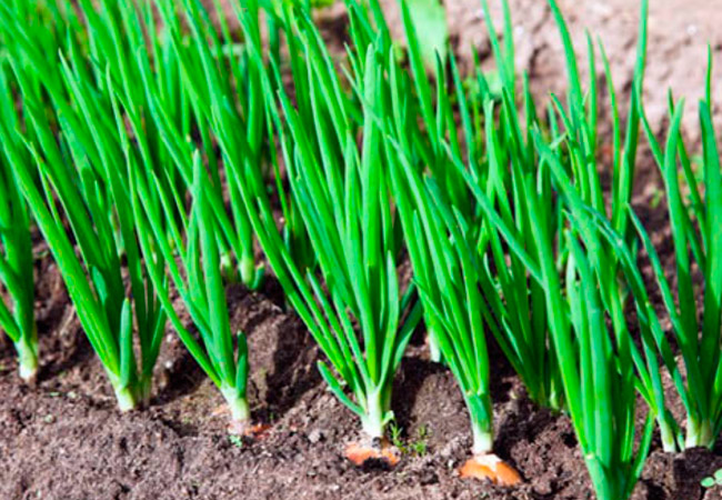 Лук репчатый Одинцовец: выращивание из семян