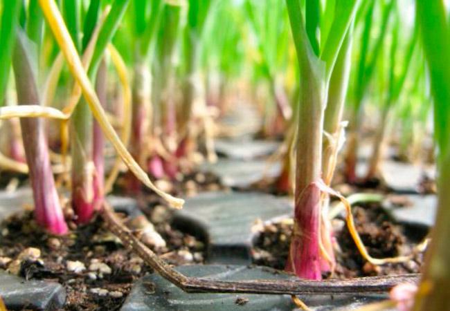 Лук репчатый брунсвик выращивание из семян