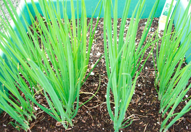 выращивание лука батуна из семян