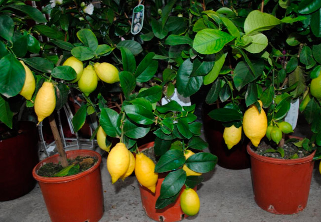 Болезни лимона: описание и лечение