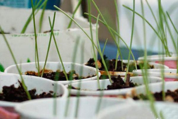 Как ухаживать за луковыми сеянцами