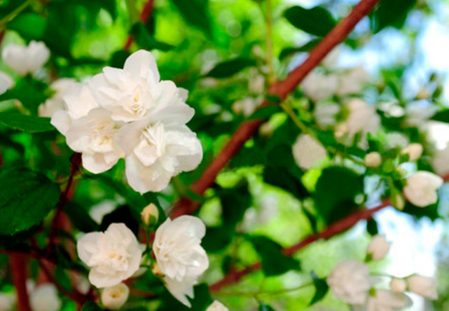Жасмин, разновидности для домашнего выращивания