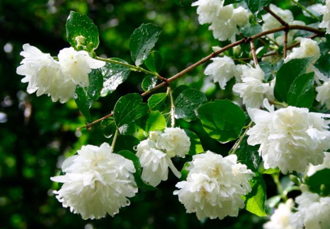 Жасмин Самбак (Jasminum sambac) или Индийский