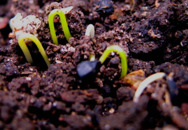 Как ухаживать за рассадой в открытом грунте