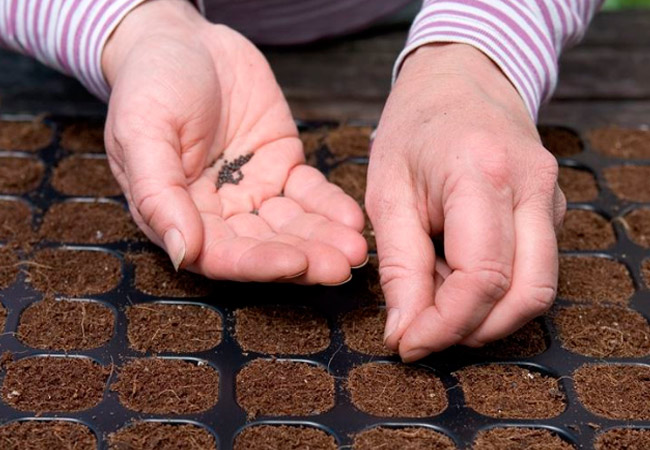 Выращивание лука чернушки через рассаду с помощью кассет