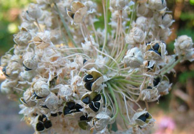 Сбор и хранение семян лука