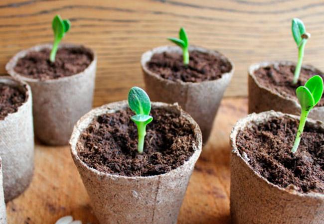Как вырастить кабачки в горшках из торфа