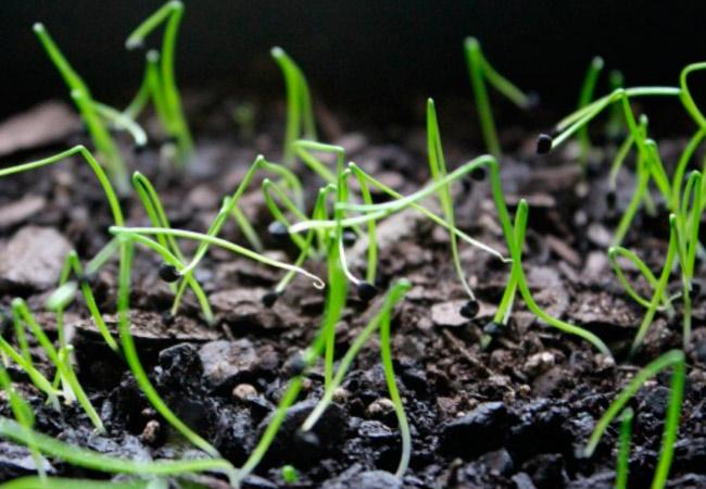 Лук чернушка на перо: выращивание в огороде