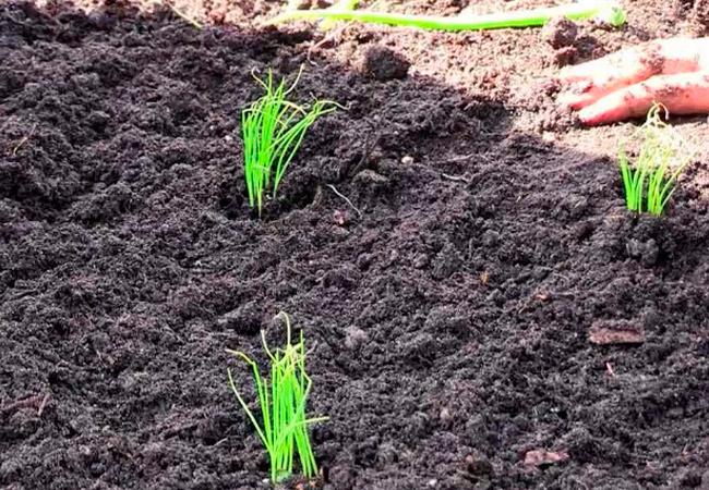 Выращивание луковой зелени в теплице
