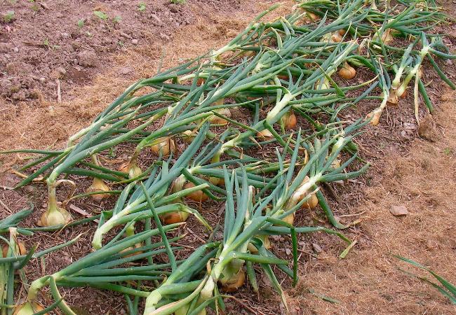 Как правильно выращивать репчатый лук