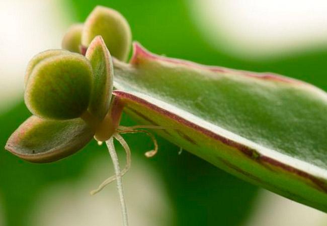 Бриофиллюм, уход за растением в домашних условиях
