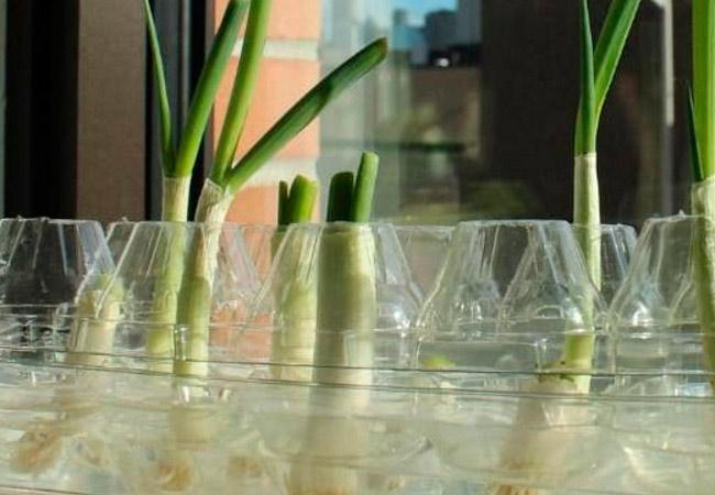 Как вырастить дома зеленый лук в воде