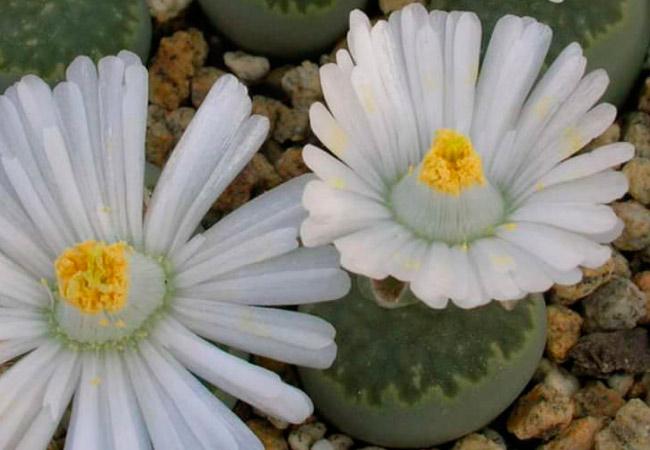 Конофитум (Conophytum)