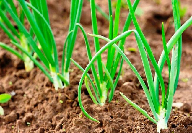 Сорта лука выращиваемые в зимних теплицах
