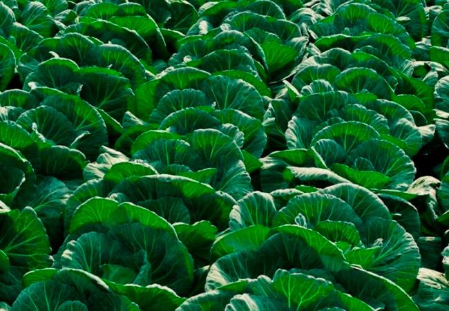 Чем и когда подкормить капусту