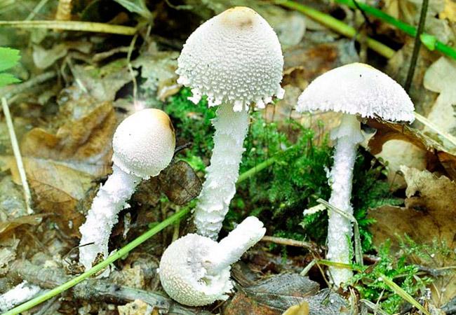 Лепиота щитковая – Lepiota clypeolaria
