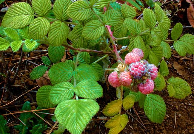 Народные средства для удобрения малины весной