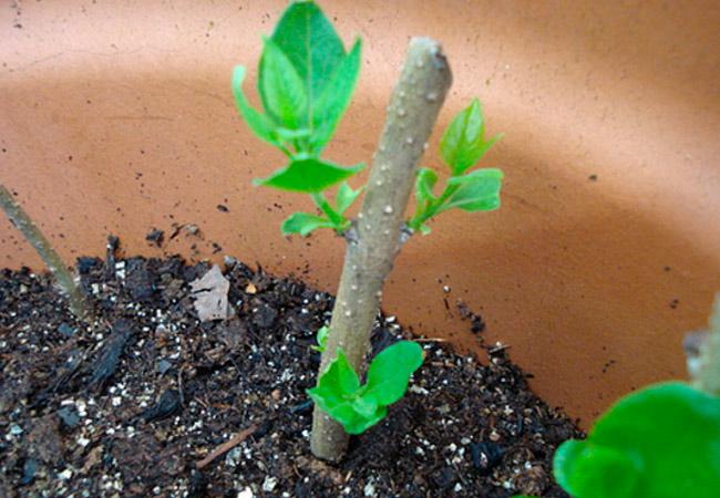 Как посадить и укоренить черенок