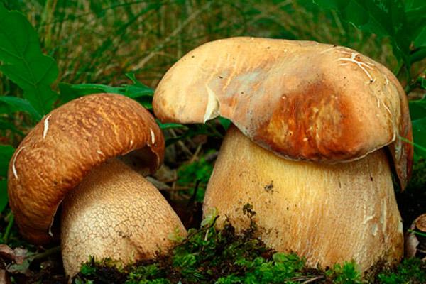 Белый гриб дубовый – Boletus reticulatus