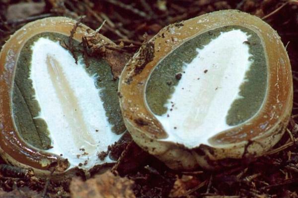 Весёлка обыкновенная – Phallus impudicus