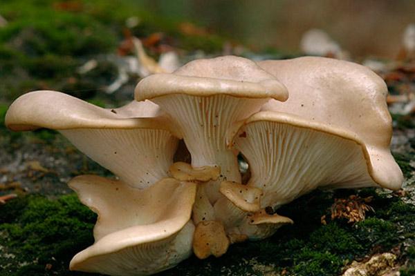 Вёшенка рожковидная – Pleurotus cornucopiae