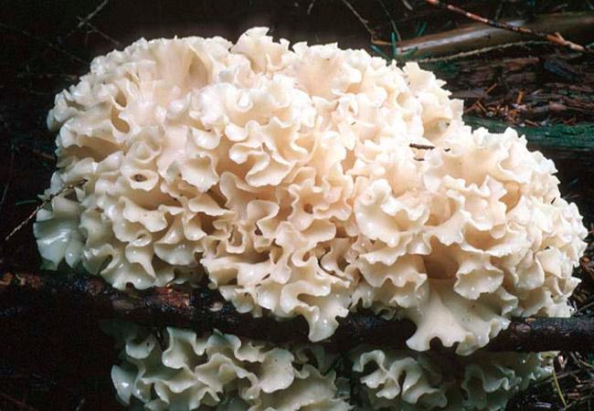 Лечебные свойства Снежного гриба