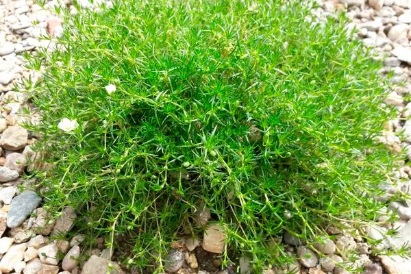 Мшанка шиловидная (ирландский мох), как посадить дома