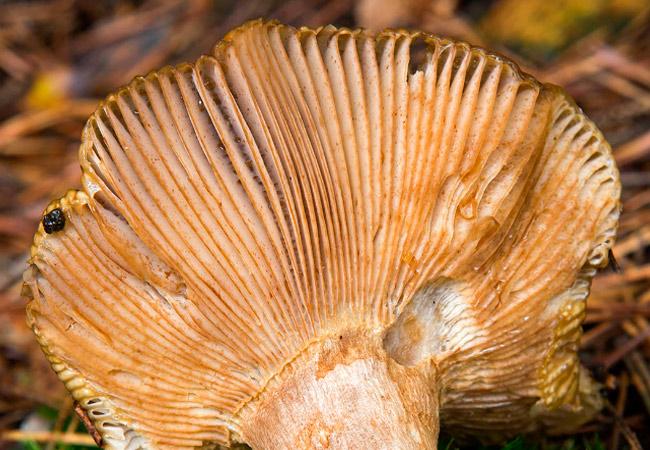 Сыроежка Морзе – Russula illota